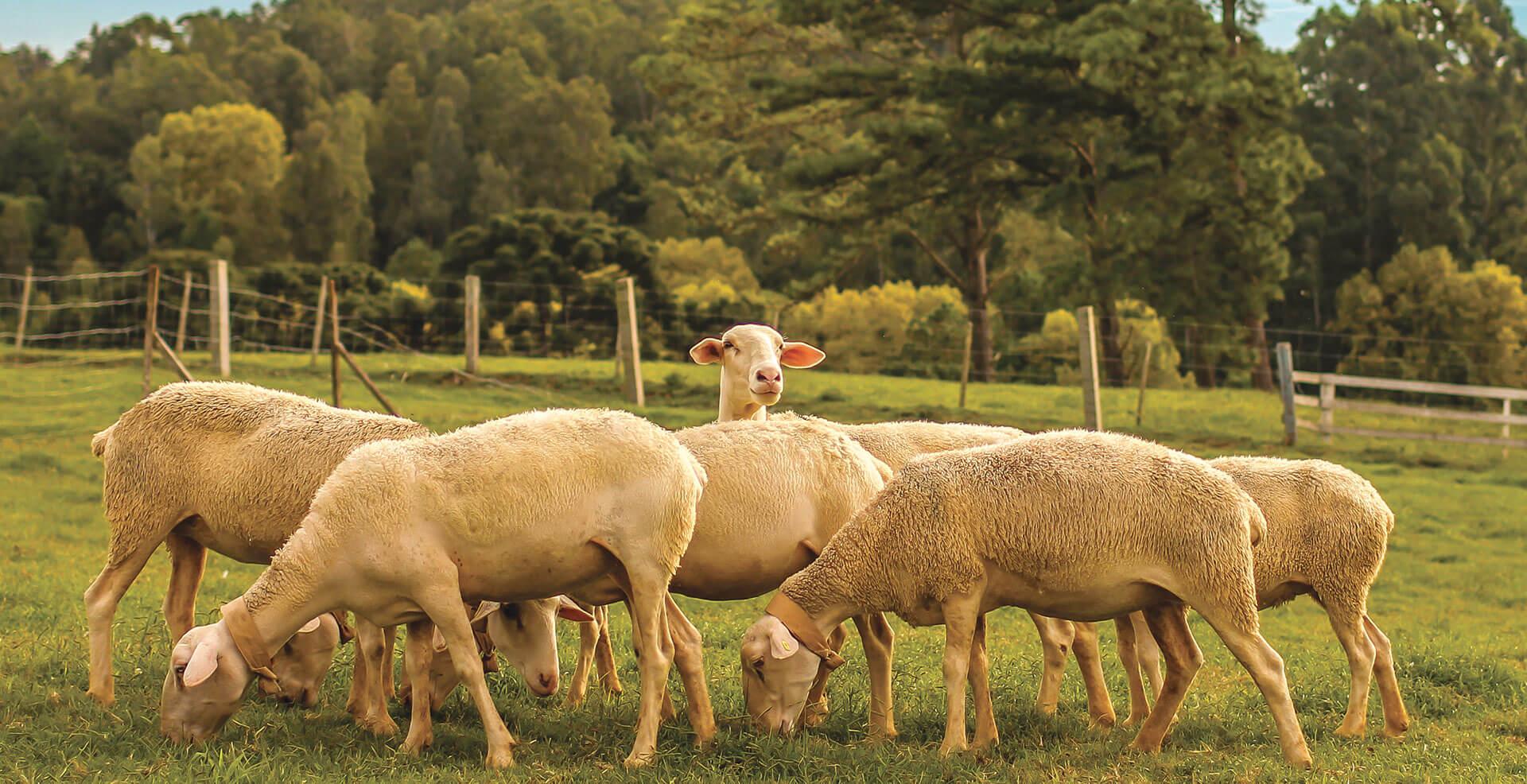 Rebanho de ovelhas no Parque