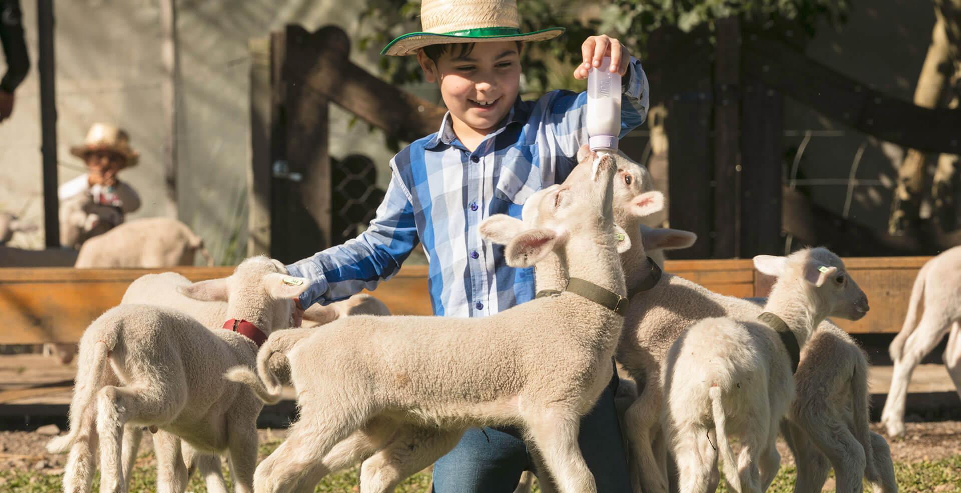 Menino amamentando ovelhas bebês