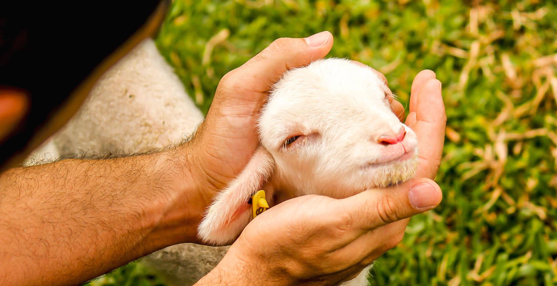 Rosto de uma ovelha bebê sendo segurado por um homem